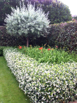 An eye-catching garden featuring star jasmine and michelia gracipes