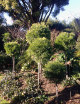 A COLLECTION OF PODOCARPUS GRACILIOR TOPIARY STANDARDS of various heights, give this garden the 'X factor'.