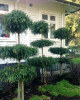 PODOCARPUS HENKLEII TOPIARY - trained as layered specimens look very cool as feature specimens in the garden outside this homestead.